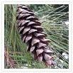 white pine pinecone